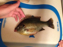 teach your child how to pick up a bluegill