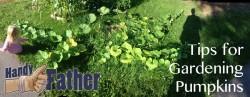 Handy tips for gardening pumpkins