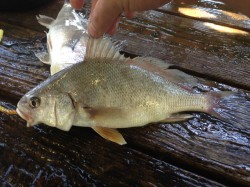 This is a freshwater drum. Some people eat them. Do you? If so, how do you prepare it?